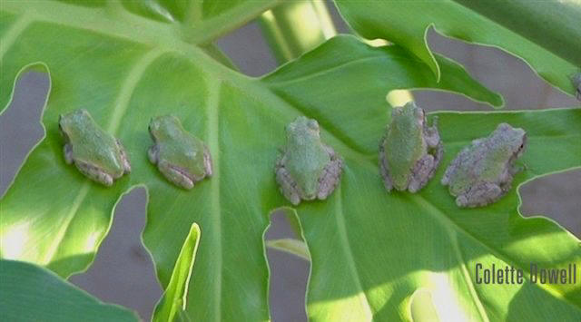 Tree Frogs toads amphibians Palm Tree Photograph by Colette Dowell