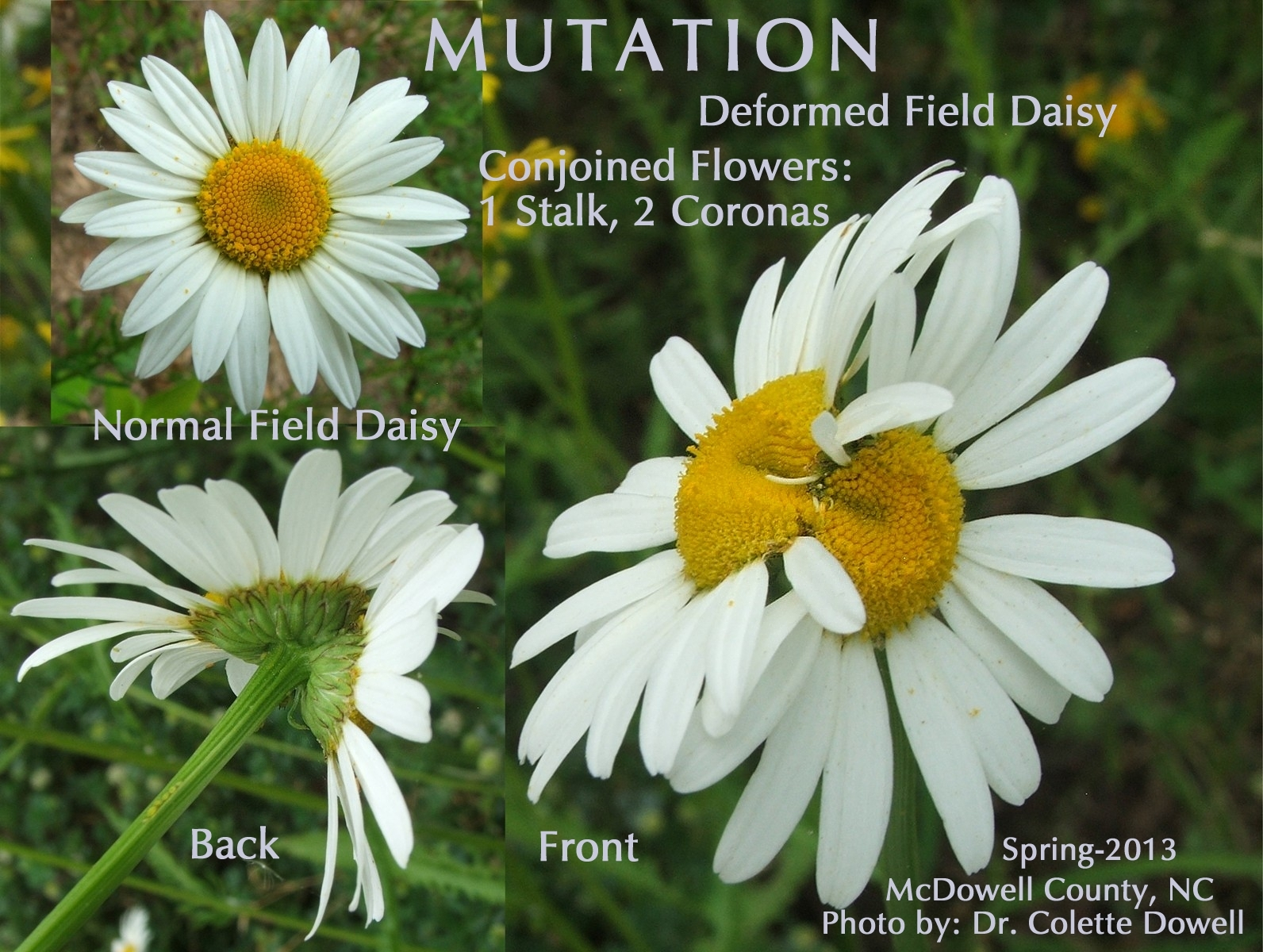 Mutated Flowers Daisy Twinning Parasites possible radiation diagram of mutation of flowers one normal